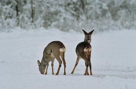Afbeelding: Reebok en reegeit in de sneeuw, tonen spiegel zonder en met schortje