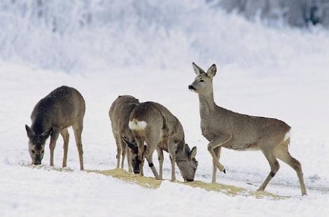 Afbeelding: Reeënsprong in de sneeuw
