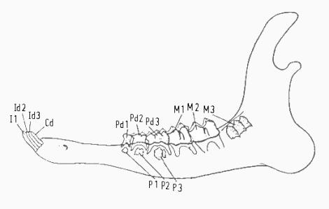 Tekening: kaakhelft van ree met premolaren en molaren