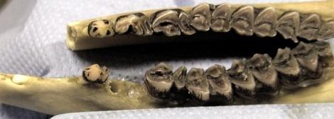 Afbeelding: Bovenhoektanden (haken) van het ree