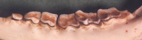 Afbeelding: Onderkaakhelft ree 12 jaar oud, foto - Dick Gussinklo