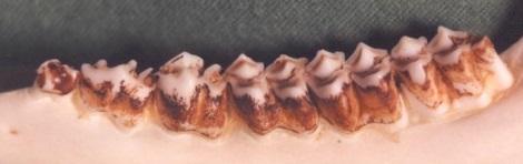 Afbeelding: Onderkaakhelft ree 1 1/2 jaar oud, foto = Dick Gussinklo