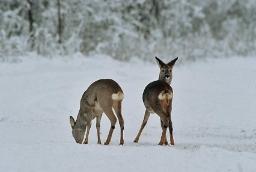 Afbeelding: Reebok en reegeit in sneeuw