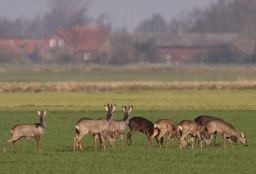 Afbeelding:Sprong reeën in polderlandschap