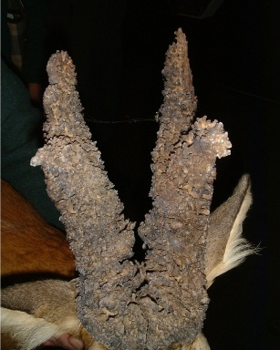 Afbeelding: van reeëngewei met pruik. De reebok met zo'n pruik wordt pruikbok genoemd