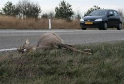 Afbeelding: ree (verkeersslachtoffer) ligt dood langs de kant van de weg