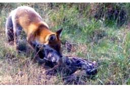 Afbeelding: Predatie door vos van reekalf