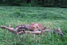 Afbeelding: Dood reekalf ten gevolge van maaien