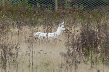 Afbeelding: Wit ree omgeving Apeldoorn