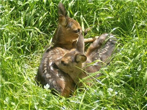 Afbeelding: Twee  reekalveren liggen in maairijp gras