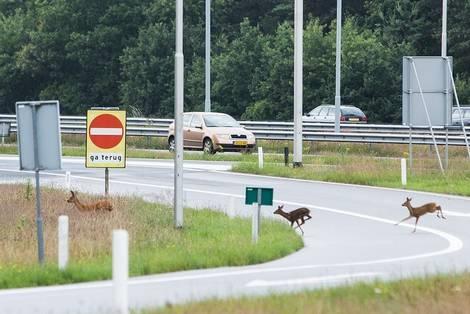 Afbeelding: Overstekende reeën op snelweg