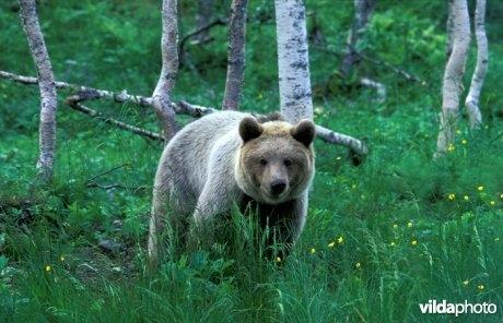 Afbeelding: Bruine-beer