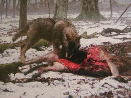 Afbeelding: wolf