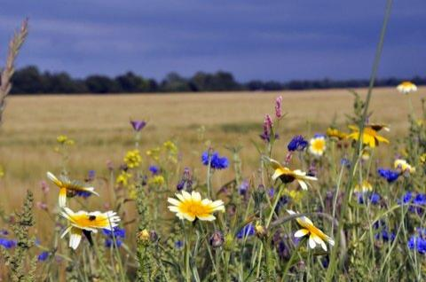 Afbeelding: Bloemrijke akkerrand Foto: Agrarische natuurvereniging Noord Oost Groningen